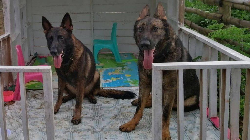 Two big German Shepherd