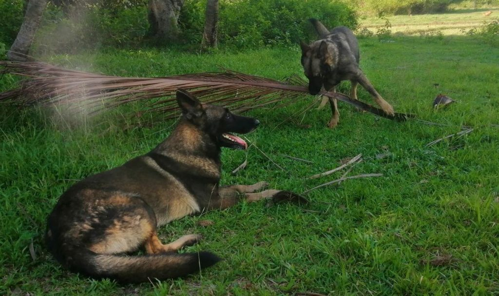 Two GSD Valpis and Blixten